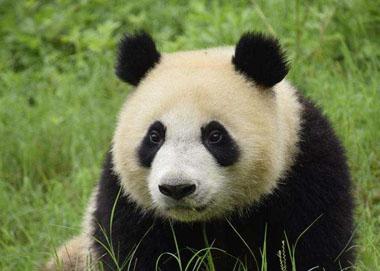 """大熊猫""""华豹""""""""金宝宝""""开启芬兰之旅"""