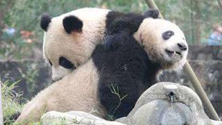 湘西地区首次迎来大熊猫