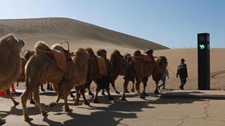 """敦煌景区设""""骆驼红绿灯"""""""