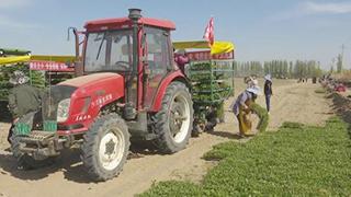 新疆番茄机械移栽工作展开