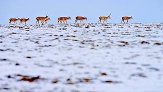 青海:直击藏羚羊迁徙